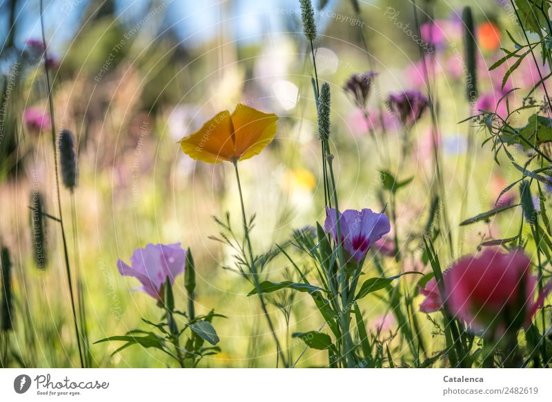Colourful flower mixture Nature Plant Sky Summer Beautiful weather Flower Grass Leaf Blossom Meadow flower Poppy Yellow corn poppy Field Fragrance Growth Blue