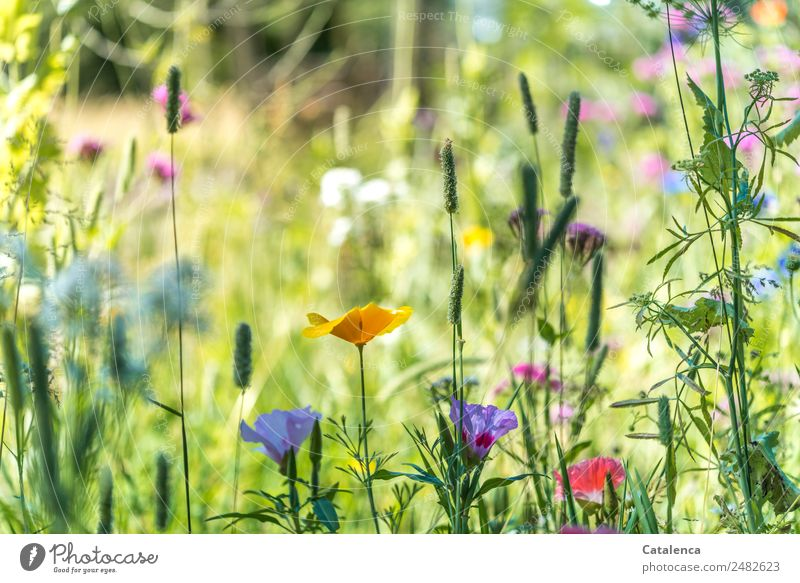 summer Nature Plant Summer Flower Leaf Blossom Wild plant Meadow flower Grass Yellow corn poppy Mallow plants Blossoming Fragrance Faded Growth Fresh Beautiful
