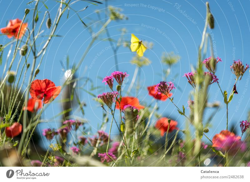 lemon butterfly Nature Plant Animal Sky Summer Beautiful weather Flower Grass Leaf Blossom Wild plant Meadow flower Corn poppy Phlox Garden Butterfly Insect