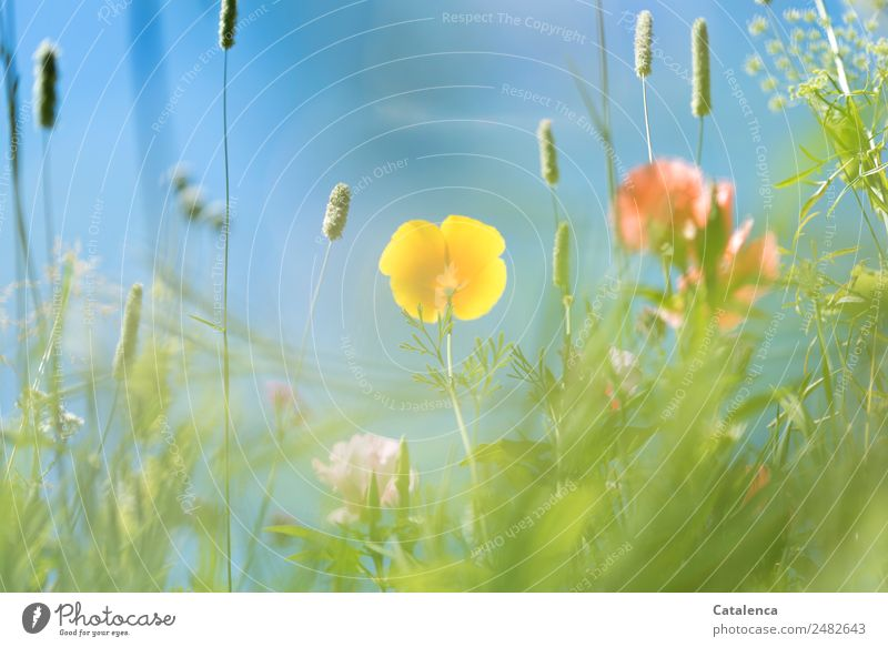 Yellow poppy blossom from a frog's perspective Nature Plant Cloudless sky Summer Beautiful weather Flower Grass Leaf Blossom Wild plant Poppy blossom