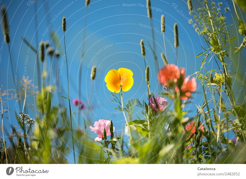 Flower meadow with yellow poppy blossom Nature Plant Cloudless sky Summer Beautiful weather Grass Leaf Blossom Foliage plant Wild plant Poppy Grass blossom