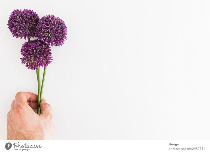 Allium isolated on white background with human hand Herbs and spices Elegant Beautiful Garden Decoration Hand Fingers 1 Human being Nature Plant Flower Natural