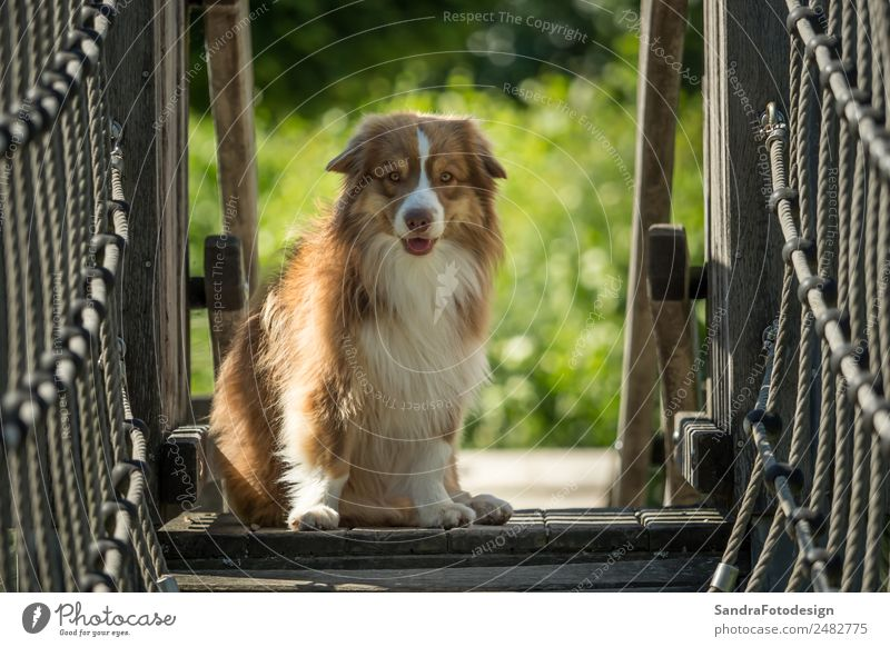 A mini Australian Shepherd is running over a bridge Summer Family & Relations Nature Garden Park Meadow Animal Pet Dog 1 Love of animals waiting security