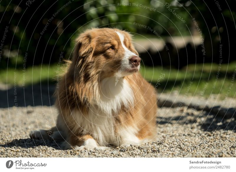 A mini Australian Shepherd lies on a gravel road Summer Family & Relations Nature Garden Park Meadow Animal Pet Dog 1 Love of animals waiting security felicity