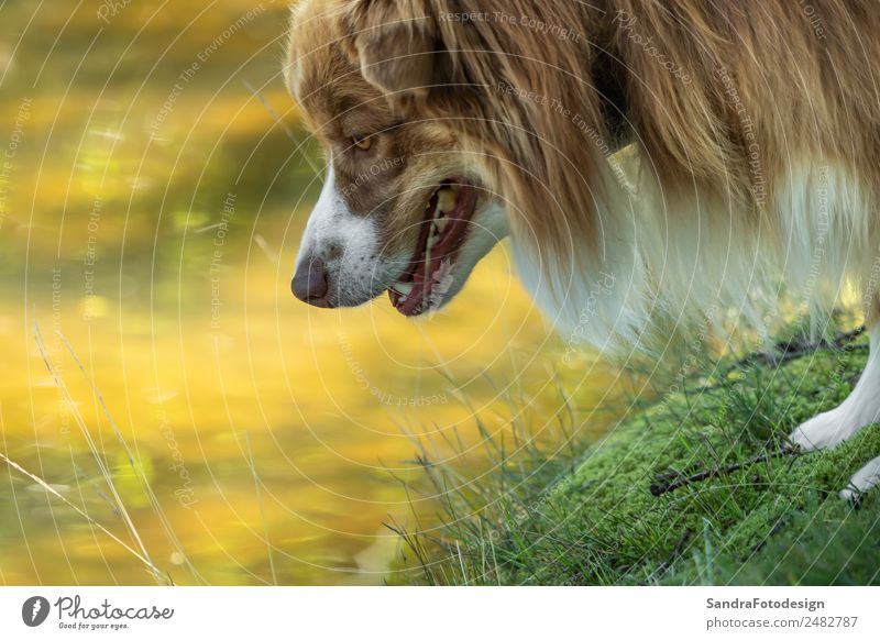 Close-up of the head of an Australian Shepherd Summer Family & Relations Nature Water Garden Park Meadow Animal Pet Dog 1 Love of animals waiting security