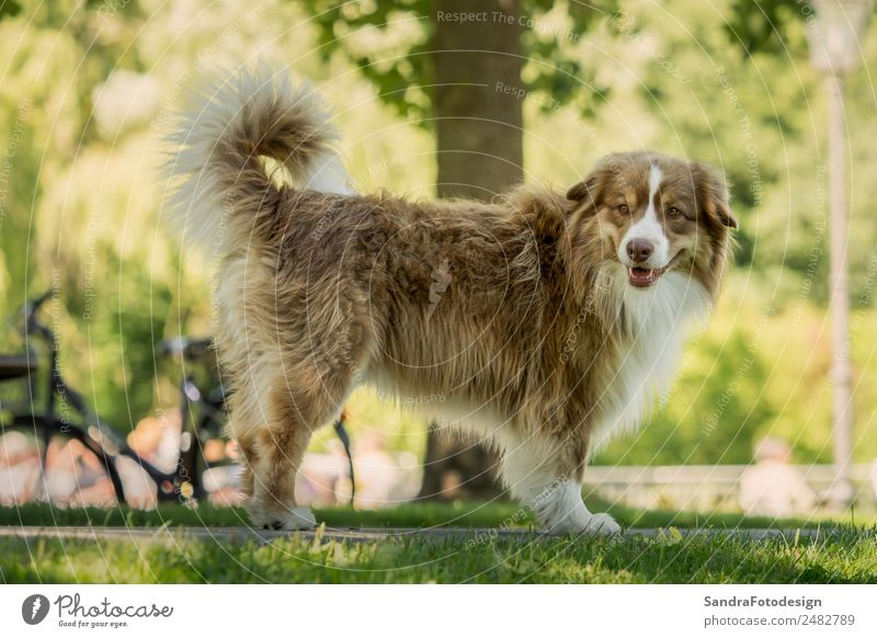 A mini Australian Shepherd during a walk in the park Summer Family & Relations Nature Garden Park Meadow Animal Pet Dog 1 Love of animals waiting security