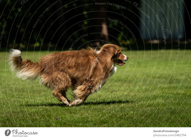 A mini Australian Shepherd is running in the meadow Summer Family & Relations Nature Animal Garden Park Meadow Pet Dog 1 Love of animals waiting security