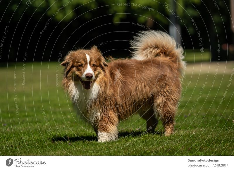 A mini Australian Shepherd is standing in the meadow Summer Family & Relations Nature Garden Park Meadow Animal Pet Dog 1 Love of animals waiting security