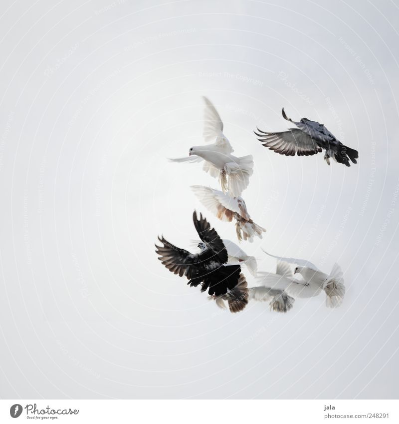 Sky Blue White Animal Black Gray Bird Flying Free Group of animals Pigeon Flock