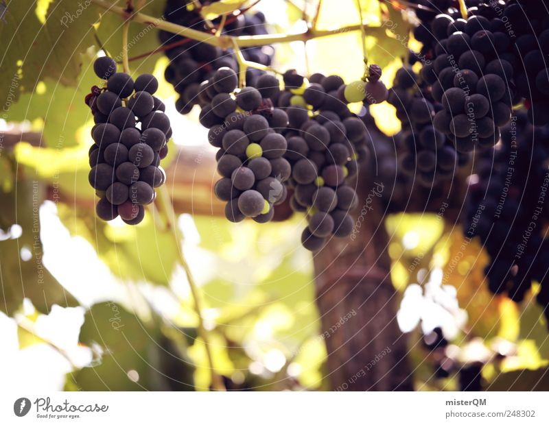 Nature Plant Environment Landscape Esthetic Growth Vine Delicious Mature To enjoy Fruit Quality Bunch of grapes Harvest Vineyard Grape harvest