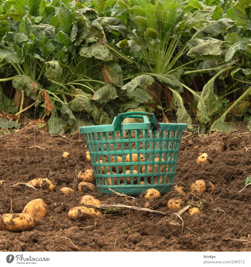 potato crop Nutrition Gardening Agriculture Forestry Craft (trade) Plant Earth Agricultural crop Field Authentic Natural Green Nature Tradition Harvest