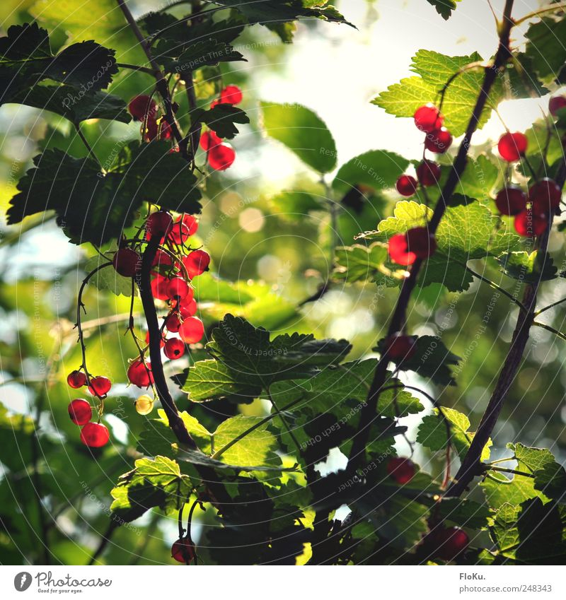 Wild currants Fruit Environment Nature Plant Sunlight Summer Bushes Leaf Foliage plant Fresh Healthy Delicious Round Juicy Green Red Redcurrant Berries