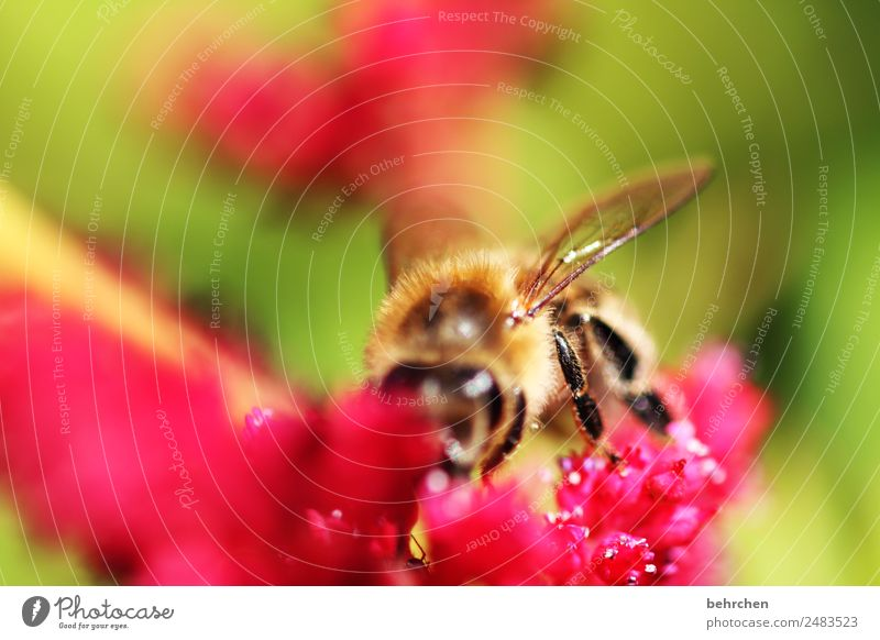 flower feast Nature Plant Animal Summer Flower Blossom Genus Astilbe Wild animal Bee Animal face Wing 1 Blossoming Fragrance Flying To feed Beautiful Honey