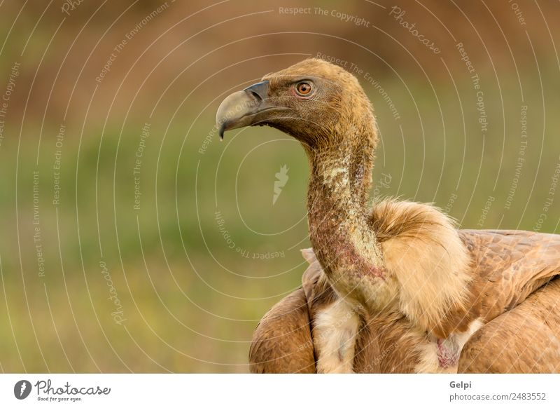 ortrait of a young vulture Face Zoo Nature Animal Bird Old Stand Large Natural Strong Wild Blue Brown Black White wildlife Vulture Scavenger Beak head Prey