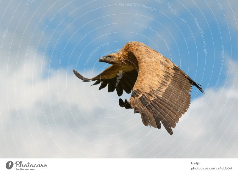 Big vulture in flight Sky Nature White Animal Clouds Black Face Natural Bird Flying Wild Vantage point Europe Feather Large Spain