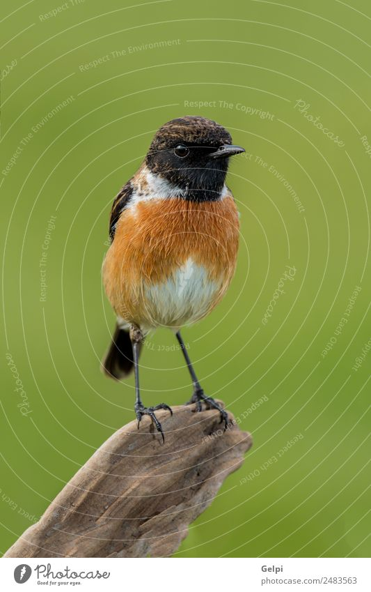 Small bird on a slim branch with unfocused Beautiful Life Man Adults Environment Nature Animal Bird Natural Wild Brown Green White stonechat wildlife common