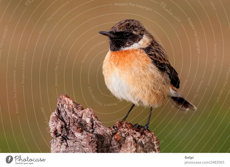 Beautiful wild bird perched Life Man Adults Environment Nature Animal Bird Small Natural Wild Brown White stonechat wildlife common background passerine