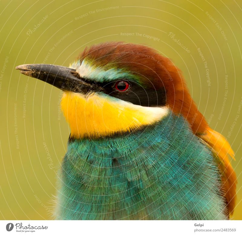 ortrait of a colorful bird Exotic Beautiful Freedom Nature Animal Bird Bee Glittering Feeding Bright Wild Blue Yellow Green Red White Colour wildlife bee-eater