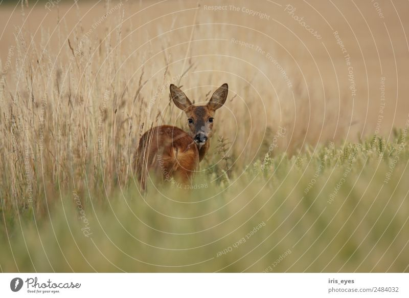 Deer in cereals Animal Wild animal 1 Dangerous Timidity Roe deer Field Colour photo Exterior shot Evening Central perspective Forward