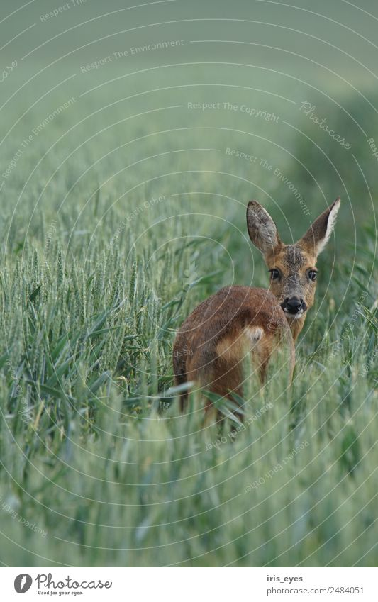 Deer in the morning Animal Wild animal 1 Fear Nerviness Timidity Roe deer Colour photo Subdued colour Exterior shot Copy Space top Morning
