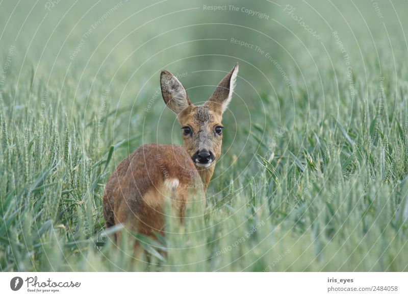 Animal Wild animal Nerviness Timidity Roe deer