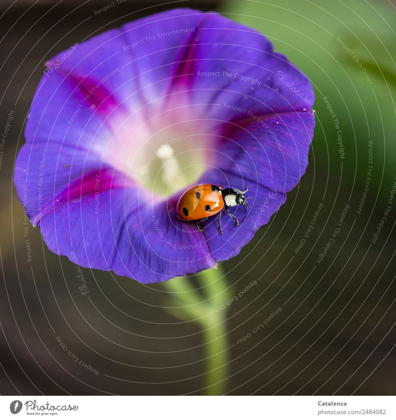 roundabout Plant Animal Summer Blossom Common morning glory Creeper Blue splendor wind Garden Beetle Ladybird 1 Blossoming Crawl Beautiful Green Violet Orange