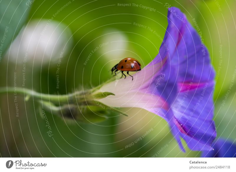 Back again Nature Plant Animal Summer Flower Leaf Common morning glory Creeper Beetle Ladybird Insect 1 Blossoming Crawl Beautiful Green Violet Orange Pink