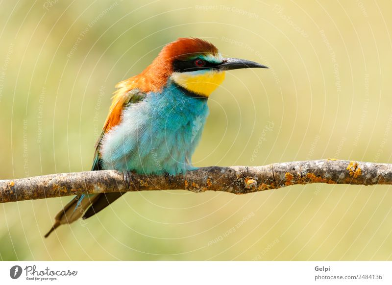 Portrait of a colorful bird Exotic Beautiful Freedom Nature Animal Bird Bee Glittering Feeding Bright Wild Blue Yellow Green Red White Colour wildlife bee-eater