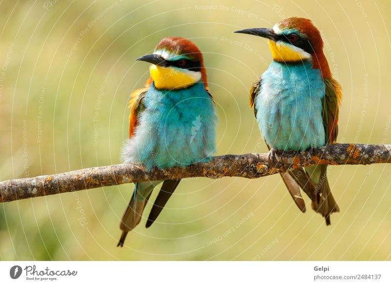 Portrait of a colorful bird Eating Beautiful Couple Environment Nature Animal Bird Bee Love Wild Blue Green Black White Colour wildlife bee-eater Thailand
