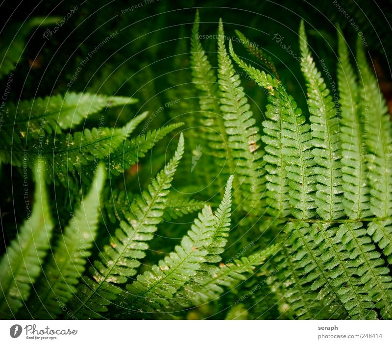 Fern Plants Pteridopsida Green Leaf royal fern spotted fern Nature Fern leaf delicate Stalk Plumed Fresh Growth Botany Herbs and spices Detail Section of image