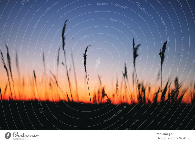 Summer evening in the Camargue Environment Nature Landscape Sky Horizon Sunrise Sunset Sunlight Beautiful weather Field To enjoy Moody Common Reed Grass