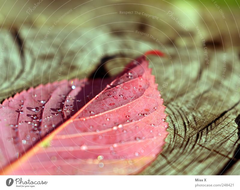 Hooray hooray of the herbs is daaaa Drops of water Autumn Leaf Cold Wet Red Colour Autumnal Autumn leaves Autumnal colours Early fall Dew Morning Rachis