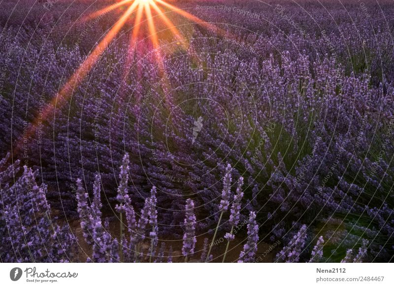 Field of lavender | it smells like ... the Provence Lavender Lavender field Sun Sunset Wind purple sniffing Fragrance Southern France vacation Gorgeous