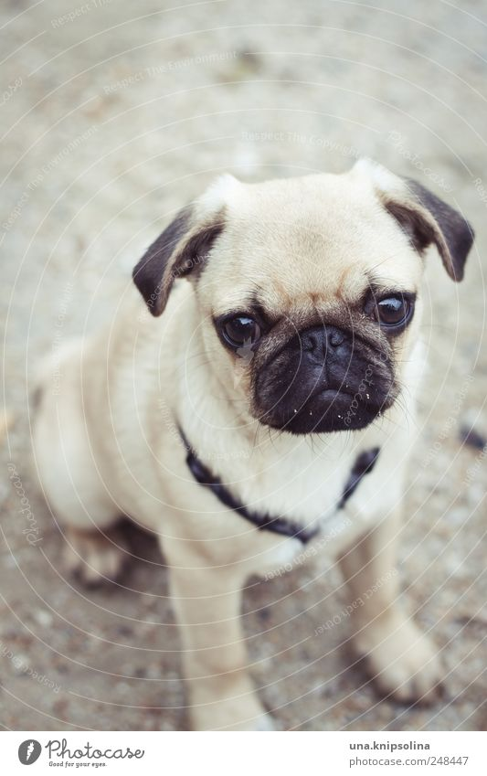 No pug's gonna complain with a meatball in his stomach. Sand Animal Pet Dog Pug Puppy 1 Baby animal Cute Beautiful Goggle eyes Colour photo Subdued colour