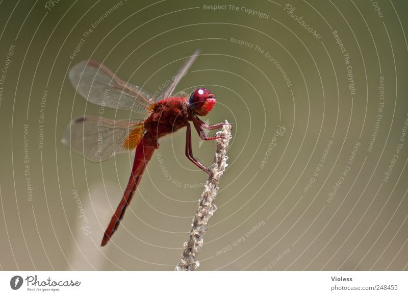 Red Love Nature Animal 1 Sit Dragonfly Sympetrum dragonfly water dragonflies Big dragonfly hide Colour photo Exterior shot Macro (Extreme close-up)