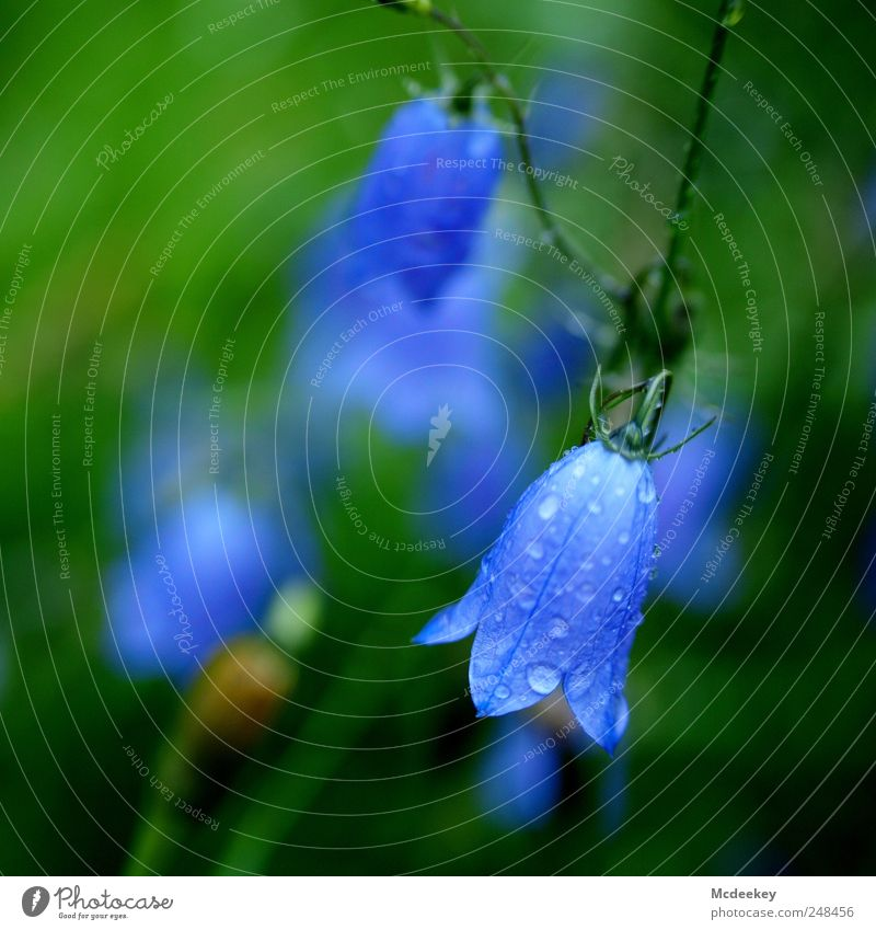 Not all bells are ringing Environment Nature Landscape Plant Summer Flower Grass Blossom Foliage plant Wet Natural Blue Brown Yellow Green Violet Black Bluebell