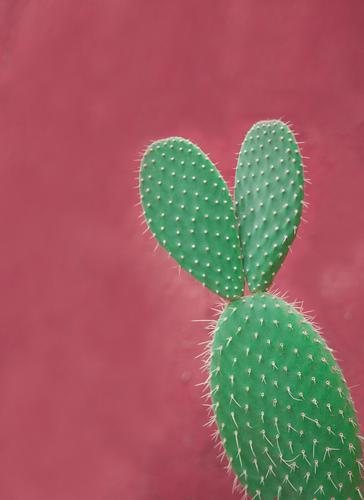 Cactus with ears Summer Sun Plant Foliage plant Exotic Esthetic Exceptional Kitsch Cute Beautiful Green Pink Spine Point Ear Hare & Rabbit & Bunny Individual