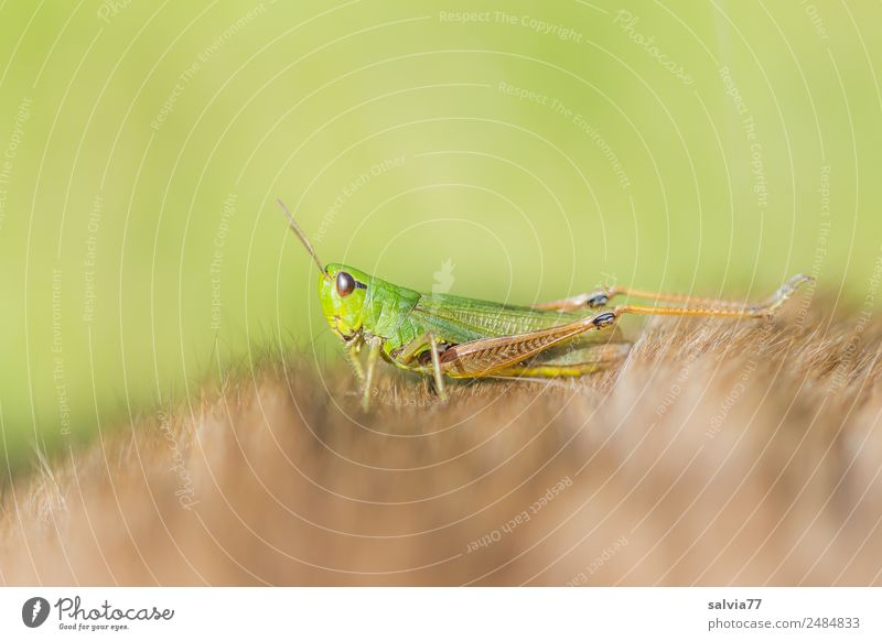 stopover Nature Animal Locust Insect Pelt 1 Crawl Soft Brown Green Discover Ease Break Perspective Protection Wellness Strange Colour photo Exterior shot