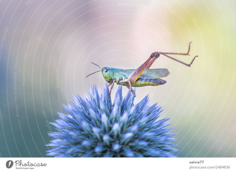 Strange grasshopper yoga. Nature Plant Animal Summer Flower Blossom Thistle Garden Locust Insect 1 Exceptional Above Point Thorny Esthetic Ease Perspective