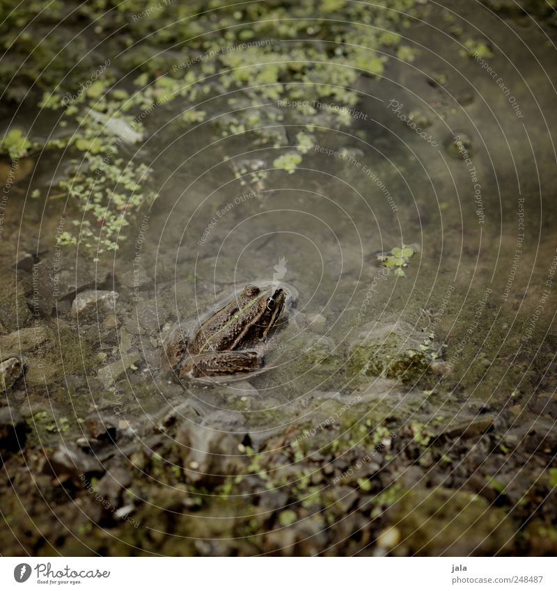 frog Plant Aquatic plant Bog Marsh Lake Animal Wild animal Frog 1 Stone Water Natural Brown Green Pond Camouflage Colour photo Exterior shot Deserted Day