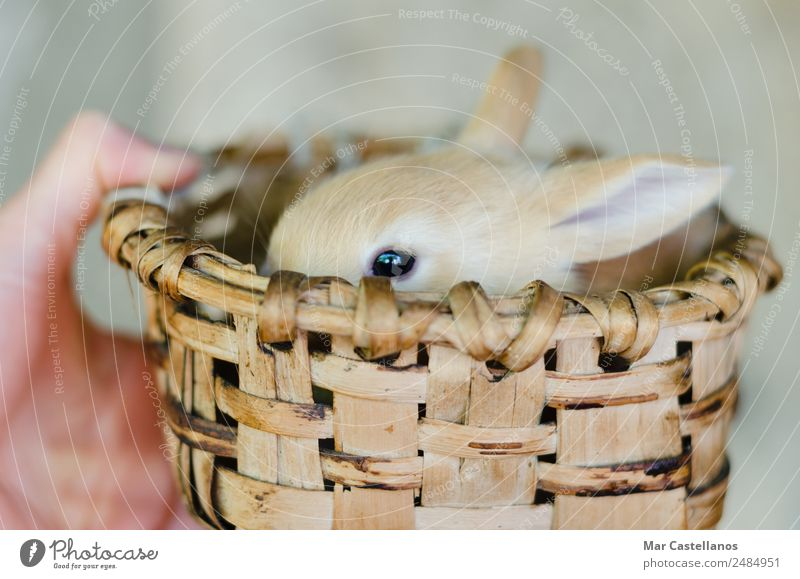 Little rabbit in wooden basket Happy Beautiful Easter Feminine Hand Nature Animal Spring Pet Farm animal Animal face 1 Baby animal Cuddly Small Cute Soft Brown