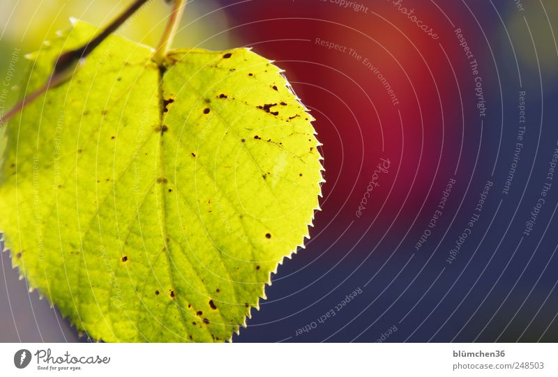 Bright autumn Plant Autumn Tree Leaf Illuminate Autumnal Seasons Colouring Early fall Yellow Gold Rachis Colour photo Exterior shot Close-up Deserted