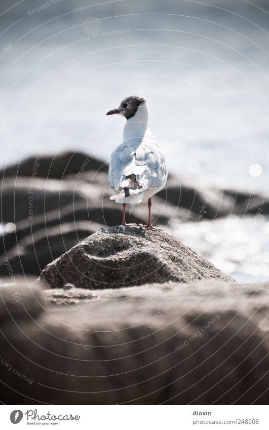 Chroicocephalus ridibundus Environment Nature Rock Coast Ocean Animal Wild animal Bird Wing Seagull Gull birds Black-headed gull  1 Looking Free Natural