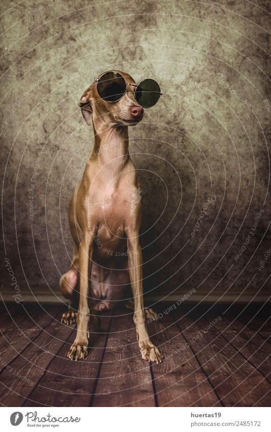 Studio portrait of little italian greyhound dog. Nature Dog Beautiful Animal Funny Happy Brown Friendship Happiness Uniqueness Cute Friendliness Pet Sunglasses