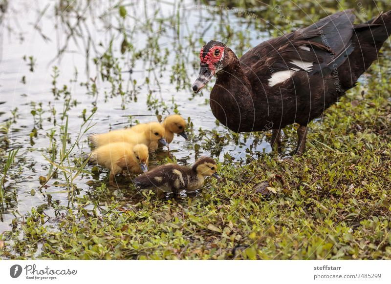 Mother and Baby Muscovy ducklings Cairina moschata Nature Summer Animal Baby animal Adults Family & Relations Bird Wild animal Cute Farm Parents Pond