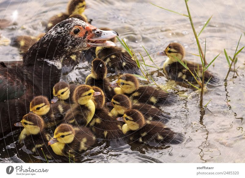 Mother and Baby Muscovy ducklings Cairina moschata Nature Summer Animal Baby animal Adults Yellow Family & Relations Bird Brown Wild animal Cute Farm Parents