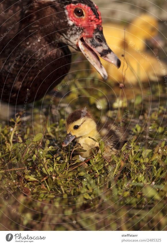 Mother and Baby Muscovy ducklings Cairina moschata Nature Summer Animal Adults Yellow Family & Relations Bird Wild animal Cute Farm Parents Pond Chick