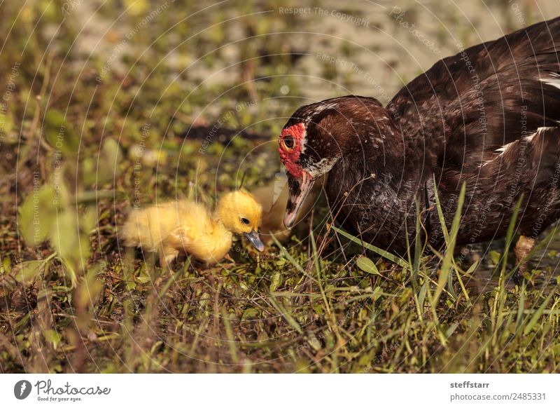 Mother and Baby Muscovy ducklings Cairina moschata Summer Parents Adults Family & Relations Nature Animal Pond Wild animal Bird 4 Flock Baby animal Cute Yellow
