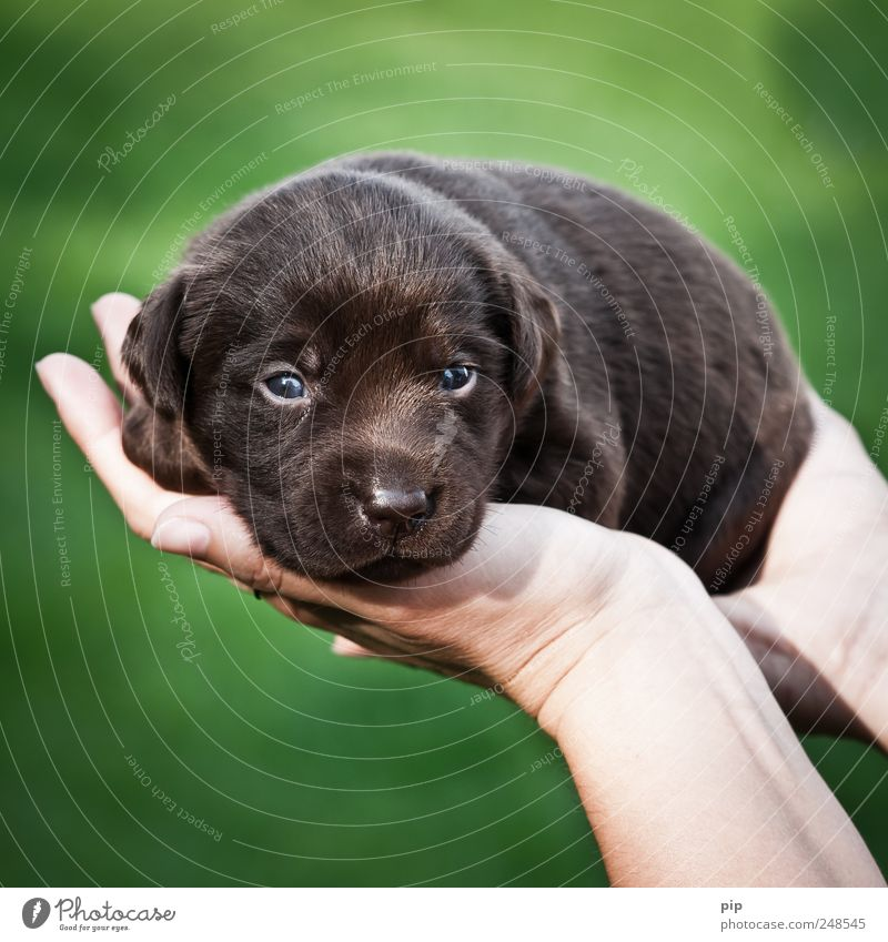 dog in hand Eyes Hand Fingers Dog Pelt Puppy Labrador 1 Animal Baby animal Small Brown Green Safety (feeling of) Love of animals Fear Beautiful High-maintenance