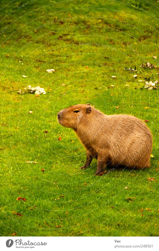 Capybara Nature Animal Grass 1 Large Wild Brown Mammal Rodent Zoology Herbivore Colour photo Exterior shot Deserted Day Central perspective Animal portrait